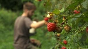 Walker-Farm-raspberry-picking2-500px